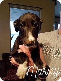 Greyhound/Irish Wolfhound Mix Puppy for adoption in Portland, Oregon - A - MARLEY