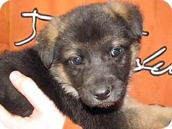 German Shepherd Dog/Keeshond Mix Puppy for adoption in Walnutport, Pennsylvania - Tony
