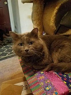 Domestic Shorthair Cat for adoption in Walla Walla, Washington - Mr Greystone