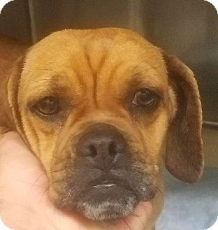 Pug/Beagle Mix Dog for adoption in Canoga Park, California - Willow the Puggle!