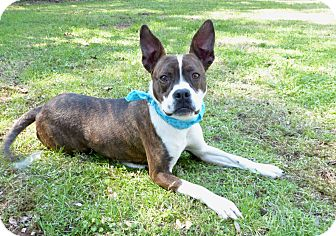Boxer/Boston Terrier Mix Dog for adoption in Mocksville, North Carolina - Abigail