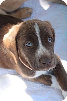 Hound (Unknown Type) Mix Puppy for adoption in Wichita Falls, Texas - Clarabel