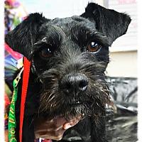 Adopt A Pet :: Kylo - Los Alamitos, CA