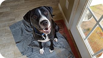 Labrador Retriever/Hound (Unknown Type) Mix Dog for adoption in Huntersville, North Carolina - Charger