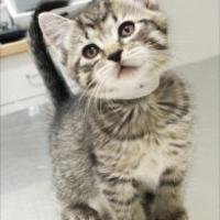 Domestic Shorthair/Domestic Shorthair Mix Cat for adoption in Saskatoon, Saskatchewan - Munchkin