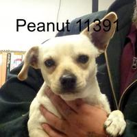 Adopt A Pet :: Peanut - Manassas, VA