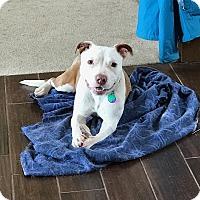 Adopt A Pet :: Braven - Avon, OH