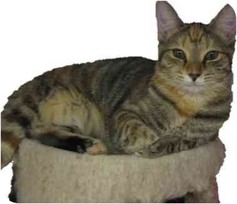 Domestic Shorthair Cat for adoption in Greenville, South Carolina - Dora