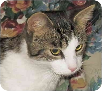 Domestic Shorthair Cat for adoption in Amelia, Ohio - Romeo