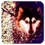 Photo 1 - Collie/Husky Mix Dog for adoption in Los Angeles, California - KIZZY