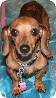 Dachshund Dog for adoption in House Springs, Missouri - Genevieve