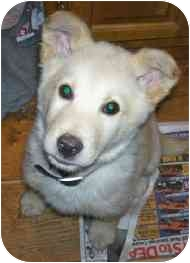 Siberian Husky Mix Puppy for adoption in Wauseon, Ohio - Bear