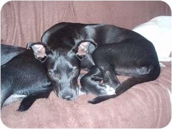 Labrador Retriever Mix Dog for adoption in Seminole, Florida - Max