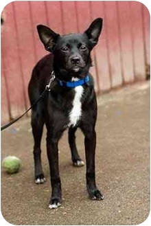 Chihuahua Mix Dog for adoption in Portland, Oregon - Terry
