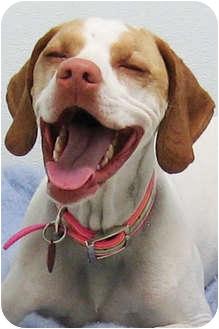 English Pointer Dog for adoption in Republic, Washington - Scharlie