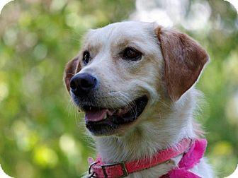 Labrador Retriever Mix Dog for adoption in Ile-Perrot, Quebec - Tessy