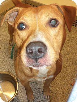 Terrier (Unknown Type, Medium) Mix Dog for adoption in Akron, Ohio - Ziggy