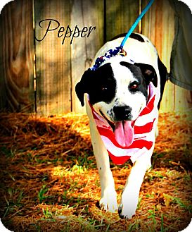 Pointer Mix Puppy for adoption in Groton, Massachusetts - Pepper