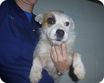 Corgi/Jack Russell Terrier Mix Dog for adoption in Oviedo, Florida - Mary