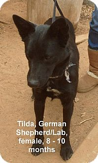 German Shepherd Dog/Labrador Retriever Mix Dog for adoption in Woodward, Oklahoma - Tilda
