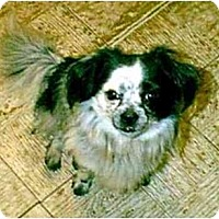 Adopt A Pet :: ROMEO - dewey, AZ