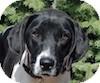 Pointer Mix Dog for adoption in Portola, California - Sassy