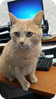 Domestic Shorthair Cat for adoption in Fort Riley, Kansas - Sir Meows A Lot