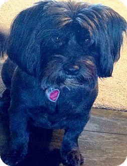 Maltese Mix Dog for adoption in Thousand Oaks, California - Lexi