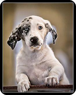 Australian Shepherd Mix Puppy for adoption in Wickenburg, Arizona - Jasmine