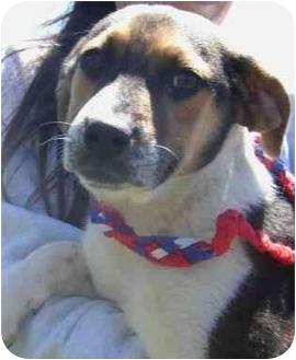 Beagle Mix Puppy for adoption in Washington, D.C. - Violet