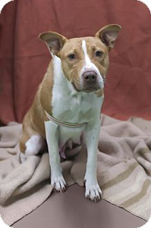Labrador Retriever/Terrier (Unknown Type, Medium) Mix Dog for adoption in South Haven, Michigan - Fawn