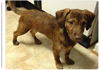 Dachshund/Labrador Retriever Mix Puppy for adoption in Hampton, Virginia - Fern