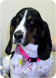 Basset Hound Dog for adoption in Round Rock, Texas - Jackie O