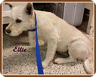 Yorkie, Yorkshire Terrier Mix Dog for adoption in Ahoskie, North Carolina - Ellie