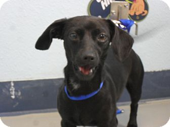 Dachshund Mix Dog for adoption in Fort Lupton, Colorado - Raquel