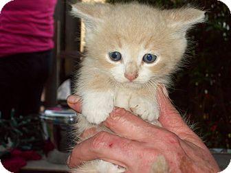 Domestic Shorthair Kitten for adoption in Hamilton., Ontario - Zak