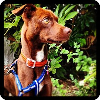 Miniature Pinscher/Whippet Mix Puppy for adoption in Portland, Oregon - Oliver