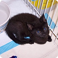 Adopt A Pet :: Phoebe - Richmond, VA