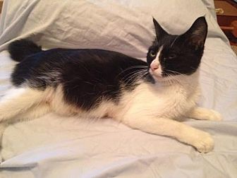 Domestic Shorthair Cat for adoption in Rock Hill, South Carolina - Audey Hepburn