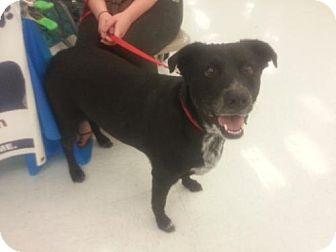 Labrador Retriever Mix Dog for adoption in Plantation, Florida - SHEBA