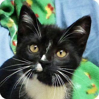 Domestic Shorthair Kitten for adoption in Port Angeles, Washington - Betty