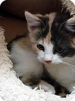 Calico Kitten for adoption in Rosamond, California - Mara