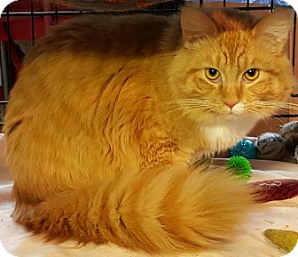 Domestic Longhair Cat for adoption in brewerton, New York - fern