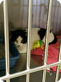 Domestic Shorthair Cat for adoption in Byron Center, Michigan - Swiss