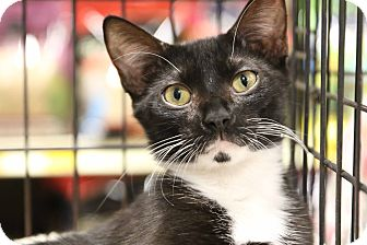 Domestic Shorthair Cat for adoption in Gainesville, Virginia - Tuxie