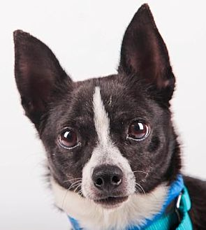 Chihuahua Mix Dog for adoption in Colorado Springs, Colorado - Buster