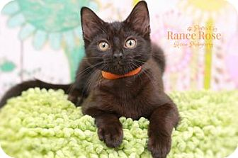 Domestic Shorthair Kitten for adoption in Sterling Heights, Michigan - Marriott