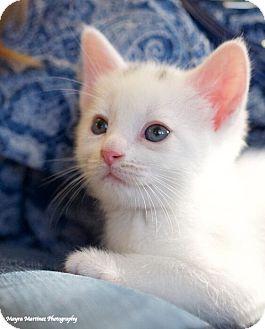 Domestic Shorthair Kitten for adoption in Huntsville, Alabama - Springfield