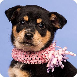 Shar Pei Mix Puppy for adoption in Cincinnati, Ohio - Sweet Pea