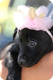 Labrador Retriever Mix Puppy for adoption in Houston, Texas - Pepper